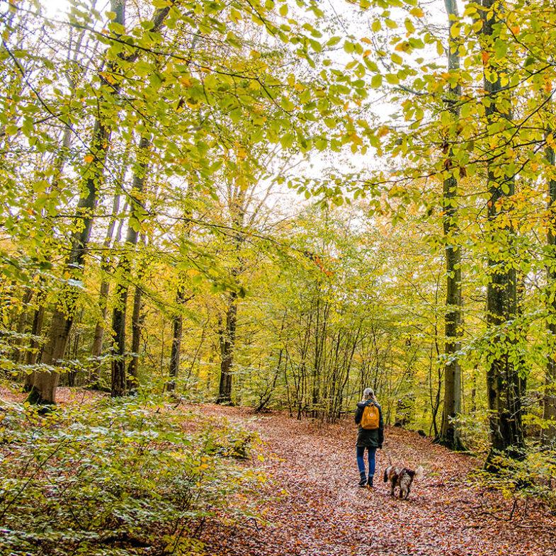 Höstvandring med hund i bokskogen